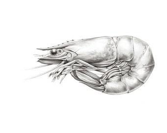 King Prawn - natural history art print.