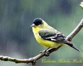 Gold Finch, Rainy Day, Topanga Wildlife, Bird Photography, Animal Photography, Nature Photography, Catherine Natalia Roché