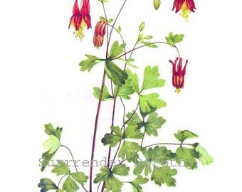 Red Columbine Wild Flowers Vintage 1955 Botanical Herbal Lithograph Art  Print To Frame 111