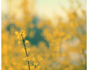 Flower Photograph  -  Spring - Forsythia  - Original Fine Art Photograph - Yellow - Photography - Nature - Yellow Art - Oversized Art - Bock