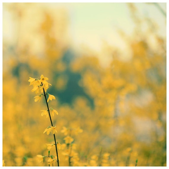 Flower Photograph  -  Spring - Forsythia  - Original Fine Art  Photograph - Yellow