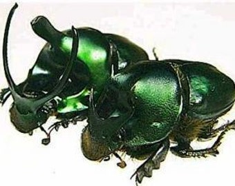 OVERSTOCK: Real Green Dung Beetle Pair, Onthophagus mouhoti
