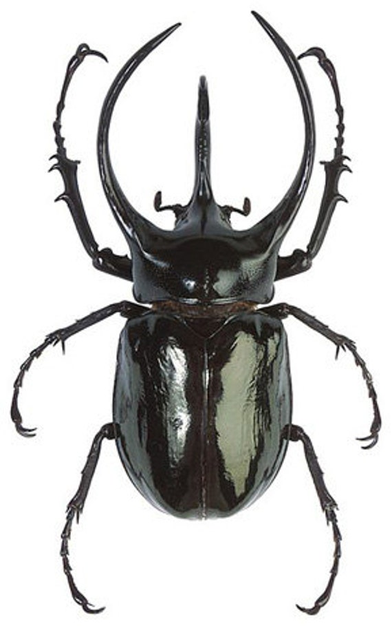 Giant Atlas Beetle OVERSTOCK: Gian...