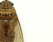 Cicada Photograph Cicada Print Affordable Home Photography Nature Photography Insect Entomology