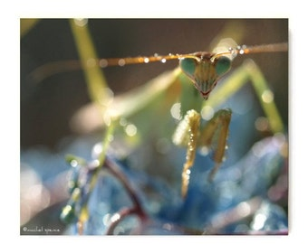 Praying Mantis Close-up Print Affordable Insect Art Entomology Nature Woodland Forest
