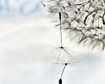 Don't Let Me Fall - modern contemporary, nature, dandelion, art, photograph, macro, dreamy, spring, summer, feelings, inspirational, pastel