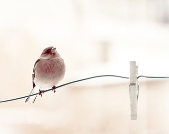 "Bird photograph.""Le pinson...""  Fine art photography print. 8x8 (20x 20cm)"