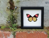 Real Framed Butterfly Display Painted Beauty