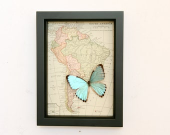 Antique Map of South America with real blue morpho