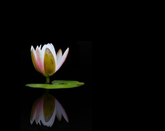 Water Lily Art - 8x10 Color Nature Photogratphy Print - Minimal Flower Photo on Black Background