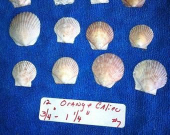 12 Orange Atlantic Calico Florida Seashells Sea Shells  Jewelry Crafts Earrings