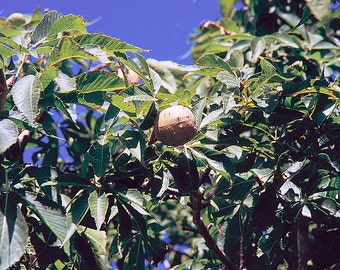 "1 american buckeye,Aesculus glabra,12-18"" seedling"