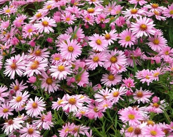 3 Live Plants SHEFFIELD PINK CHRYSANTHEMUM - Rooted Plants 10-12 inches tall, Deer resistant, Ground Cover