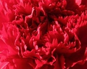 Carnation, Chabaud Giant Red Carnation Seeds - Gorgeous Intense Double Red Flowers Incredible Fragrance Old Fashioned Cottage Flower