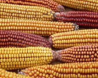 Corn, Organic Garland Flint Corn Seeds