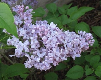 SPRING LILAC  Whipped Body Parfait 8 oz jar Natural Blendings Most Popular Product Made to Order Custom Fragrance
