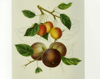 Crab Apple by Prestele Print Botanical Book Plate SALE Buy 3, get 1 free