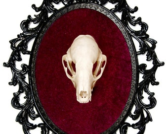 Real Raccoon Skull Taxidermy - Victorian Framed Object - Wall Art Decor 10x13in