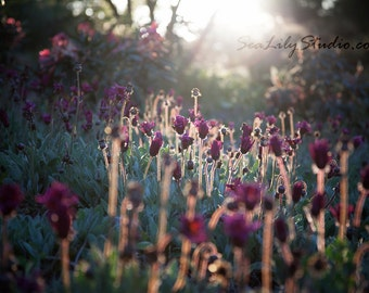 Backlight 24x36 : flower photo backlit photography floral field sun sunlight spring summer garden surreal dream home decor