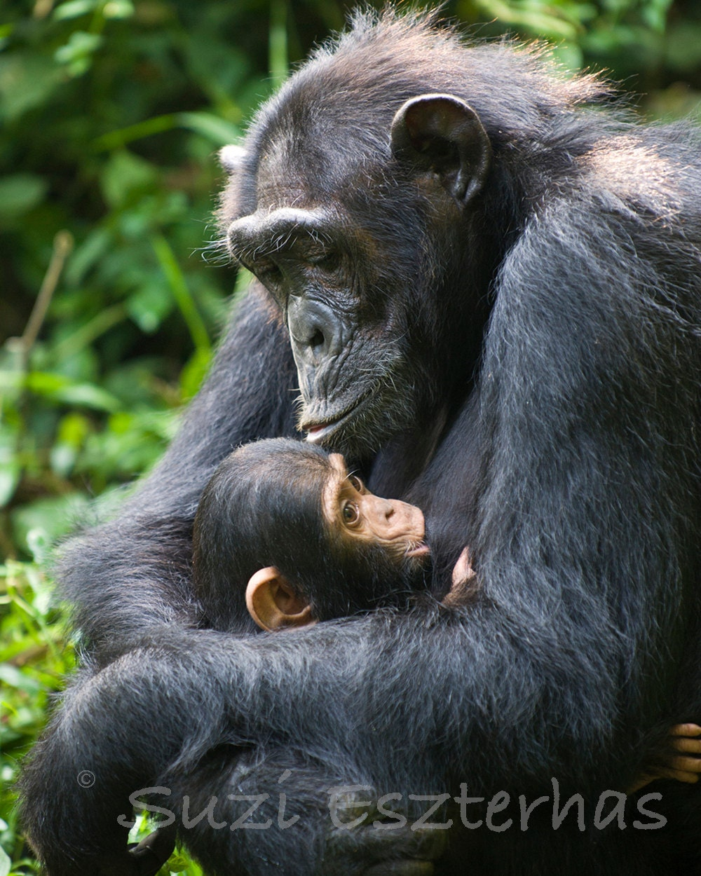 Baby Chimp And Mom Photo Print Baby Animal Photograph