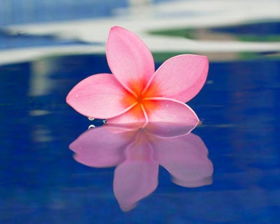 Items similar to blue wall art plumeria photograph for Floating flowers in water