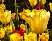 Bright Cheerful Tulips 8 x 10 Glossy Matted Photograph