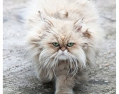 Parisian Persian - cat green eyes beige grey long-haired fluffy whiskers soft Paris photography 8x10 or 11x14 - Original Fine Art Photograph