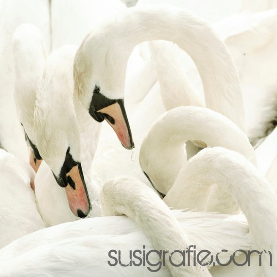 white beauties - Fine Art Photograph - swan bird white romantic soft