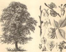 1904 Antique Engraving of Deciduous Trees, English Oak, Sessile Oak, Wych Elm, European White Elm, European Beech, Small-leaved Lime