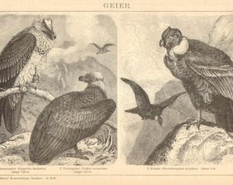 1904 Vultures, Bearded Vulture, Eurasian Black Vulture, Andean Condor Original Antique Engraving to Frame
