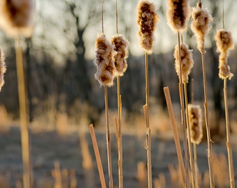 Cattail Fine Art Print, Landscape Photography, Brown, Tan, Earth tones, Brown art, gift ideas