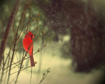 Fine Art Photography cardinal,ruby red,bird,home decor,male,portrait,dramatic,print,winter,snow,gift,cardinal in winter snow,nature decor