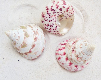 "Strawberry Red Trochus Shell 2"" to 2-1/2"""