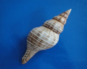 "Sea Shell Seashells 3.7"" Fascialoria Filamentosa Shell"