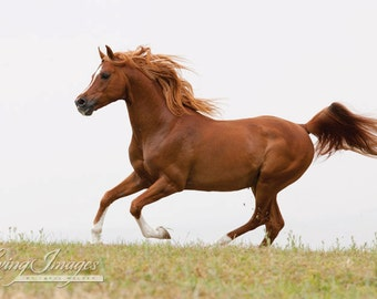 Red Arabian Stallion Runs - Fine Art Horse Photograph - Horse - Arabian - Horse Photograph - Fine Art Print
