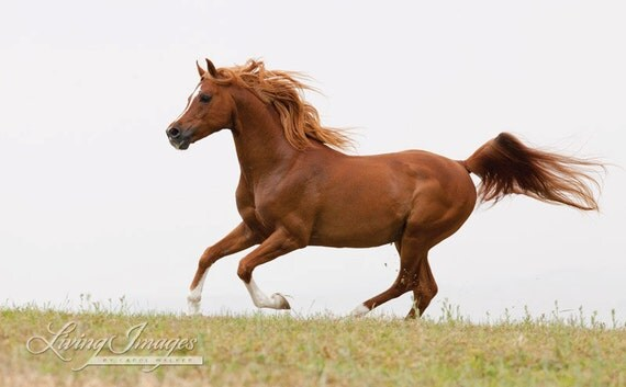 Red arabian stallion runs fine art horse photograph horse - Arabian horse pictures ...