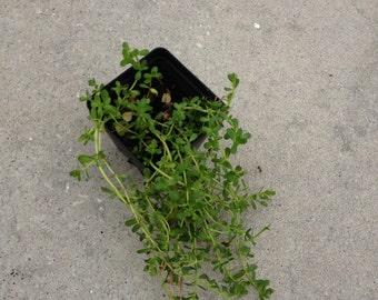 Bacopa monnieri live plant brahmi