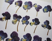 Viola Tricolor Short Stem Flowers Pressed Dried pack of 21 facing West