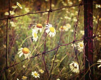 Don't fence me in - 8 x 10 Fine Art Photography - Floral Photography - Nature Photography