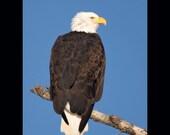 Bald eagle bird photograph- 8x10 matted