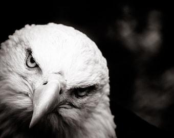 Bald Eagle Fine Art - American Animal Wall Art -  Monochrome Fine Art Animal Photography