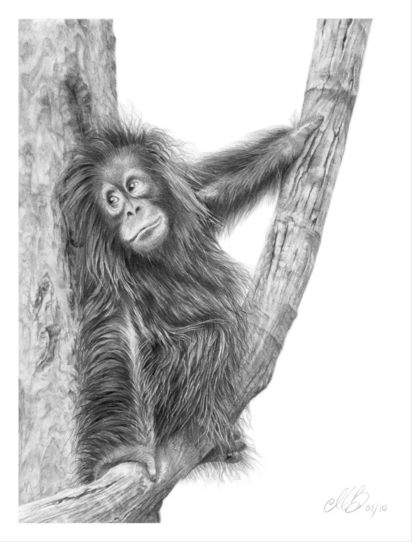Uncategorized Orangutan Drawing orangutan pencil drawing art print greetings card