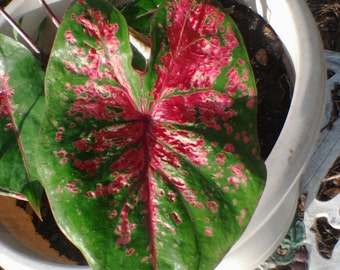 Hot Pink Caladium Blooming Bulb (1) One Organic fairy garden