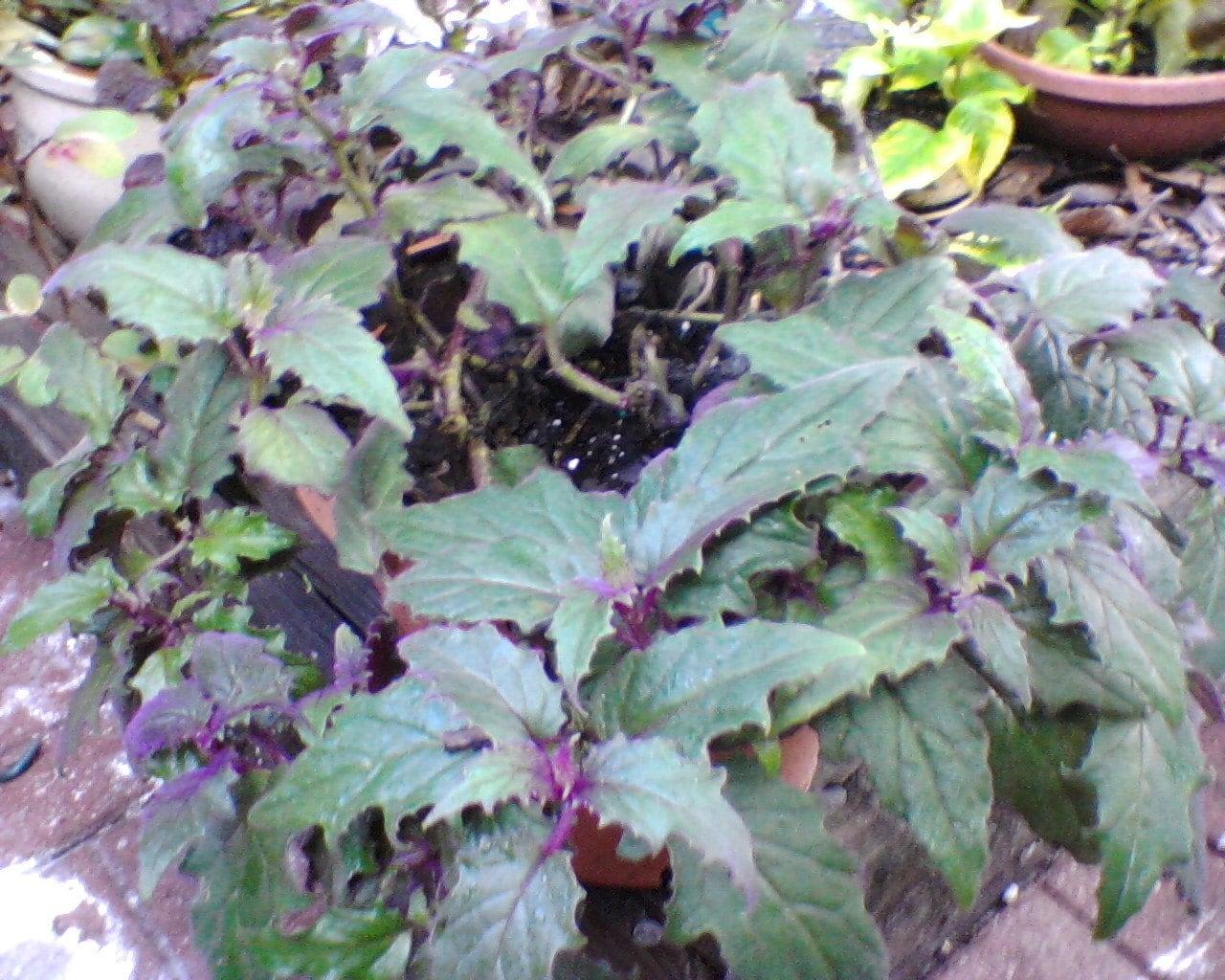 Purple Passion Velvet Vine Plant Gynura aurantiaca