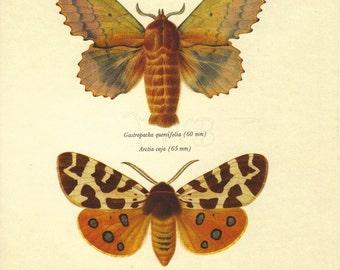 Moth Print, Butterfly Art Print, Home Decor, Natural History, Vintage Illustration, Entomology, Gastropacha Quercifolia, A-1