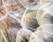 "Nature Photography Dandelion Seeds Brown White Natural Color Home Decor ""Dandelion"""