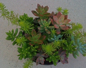 12 Succulent Plants, 6.5 inch pot, Mothers Day, Terrarium, Dish Garden, Birthday