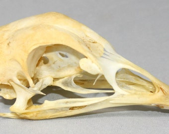 Real, natural,Chicken Skull