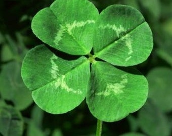 BULK  St. Patricks Day Four Leaf Clover, Grow Your Own for Luck Mix, 500 Seeds, 3 and 4 Leaf Clover Mix