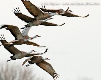Sandhill Cranes Flying photograph, print matted on white mat. Sandhill Cranes flying migrating in flock